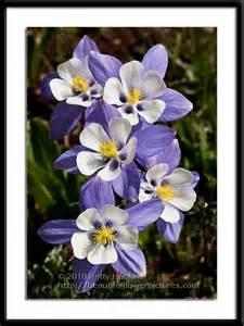 Colorado Blue Columbine Flower