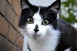 18 Most Adorable Black And White Aegean Cat Pictures