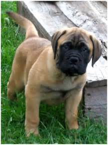bullmastiff puppies rescue breeders pictures