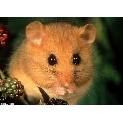 UK dormice numbers have plummeted by more than a THIRD
