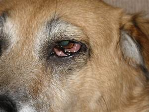 dog eye swollen and redtml