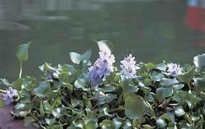 Types Of Hydrophytic Plants