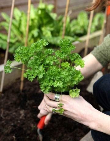 mandare fiori a distanza coltivazione prezzemolo orto