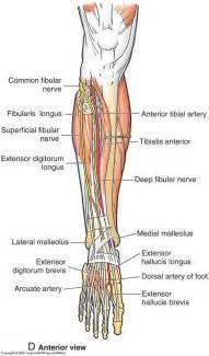 Anterior Lower Leg Nerve Anatomy