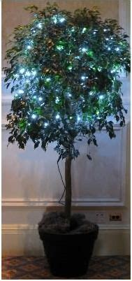 ficus tree  lights white lights