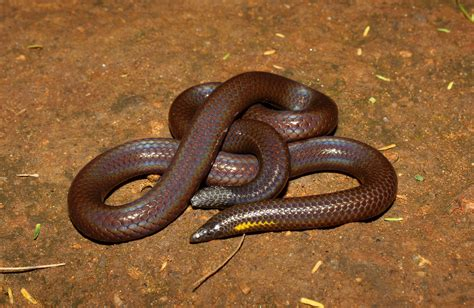 Scientists describe new species of shieldtail snakes found ...
