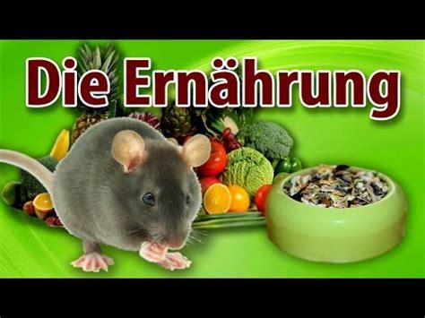 was fressen ratten am liebsten was deine ratten fressen und was sie am liebsten m 246