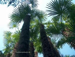 Trachycarpus Fortunei Auspflanzen : palmen bananen und andere exotische pflanzen ~ Eleganceandgraceweddings.com Haus und Dekorationen