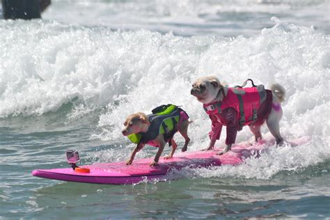 dog surfing competition san diego  helen woodward