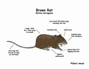 Rat  Brown