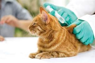 cat vaccines your cat should i vaccinate my cat cat health advice