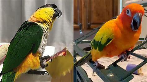 Smieklīgi papagaiļi ir visur - Spoki