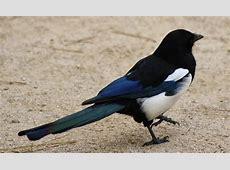National Bird Of South Korea Korean Magpie 123Countriescom