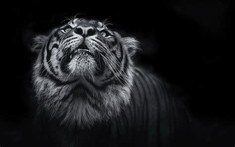 Black Animal Wallpaper - wallpaper tiger black hd 4k animals 10912