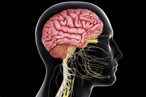 central nervous system   body