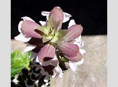 National Flower Of Greece Bear's Breech 123Countriescom