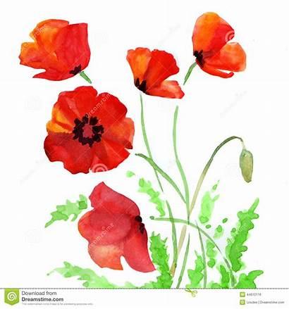 Acquerello Poppy Papavero Watercolor Fiori Illustrazione Aquarelle