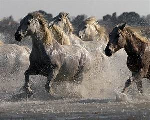Horses Running Out of Water | Wild Horses That Are Black ...
