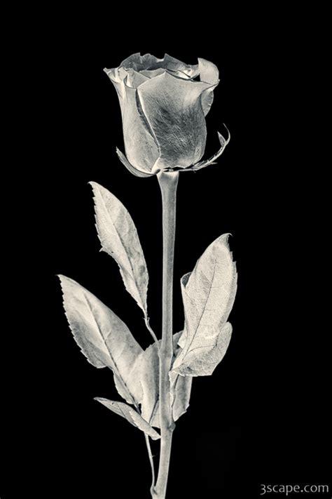silver rose photograph fine art prints  adam