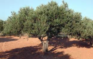 olive tree pictures photo images of olive trees