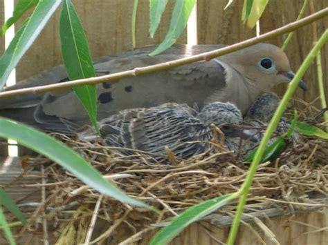file mourning dove nesting 20060630 jpg