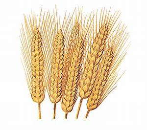 The Wheat Plant - Wheat | HowStuffWorks