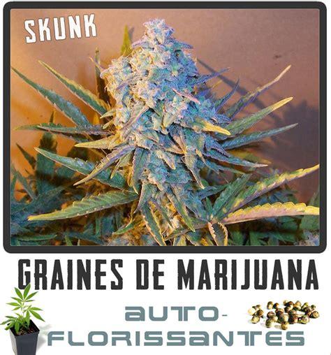 fin de floraison cannabis interieur graines de cannabis auto florissant graines de