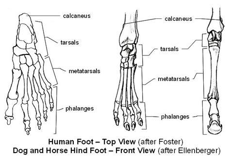 emg zine basic animal anatomy cheval
