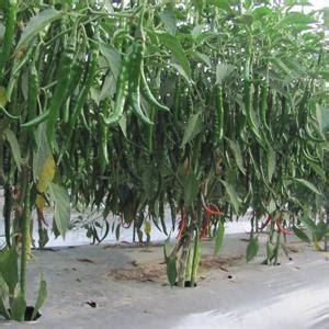 jenis benih unggul tanaman hortikultura hortindo