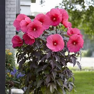 Riesen Hibiskus Kaufen : riesen hibiskus hibiscus moscheutos carousel pink passion 1x garten staude ebay ~ Watch28wear.com Haus und Dekorationen