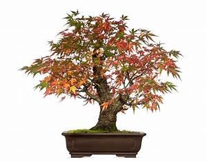 Roter Japanischer Ahorn : japanischer ahorn als bonsai erziehen so gelingt 39 s ~ Frokenaadalensverden.com Haus und Dekorationen