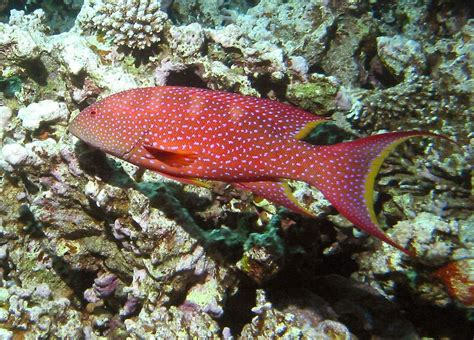 fish grouper yellow adult lyretail edged change species freshmarine