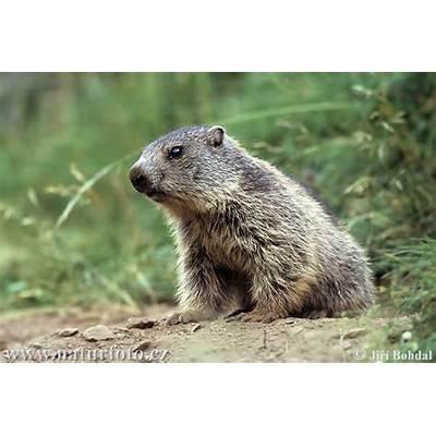 Alpine Marmot Pictures ImagesNaturePhoto