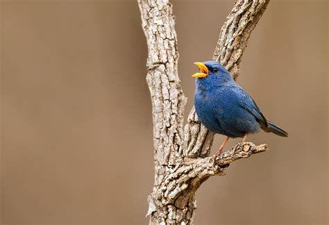 yellow billed blue finch