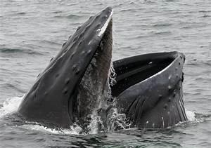 En Vido Une Baleine Bleue Fait Des Pirouettes Pour