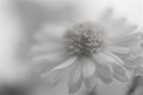 gambar wallpaper bunga hitam putih keren wallpaper