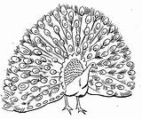Peacock Coloring Printable Animal Drawing Peacocks Bird Pattern Bestcoloringpagesforkids Nature sketch template