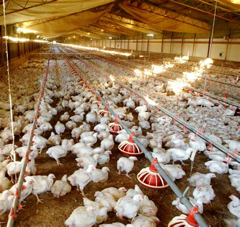 chicken farm meat chicken farm sequence poultry hub
