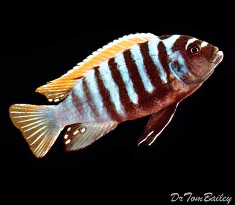 Red Top Zebra Cichlid, Featured Item #red #top #zebra