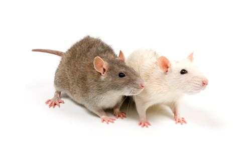 residential rat control st catharines