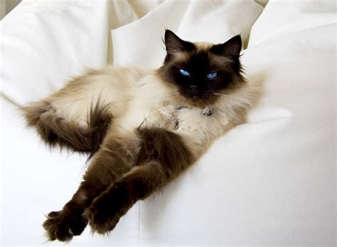 ragdoll cat cat breeds encyclopedia