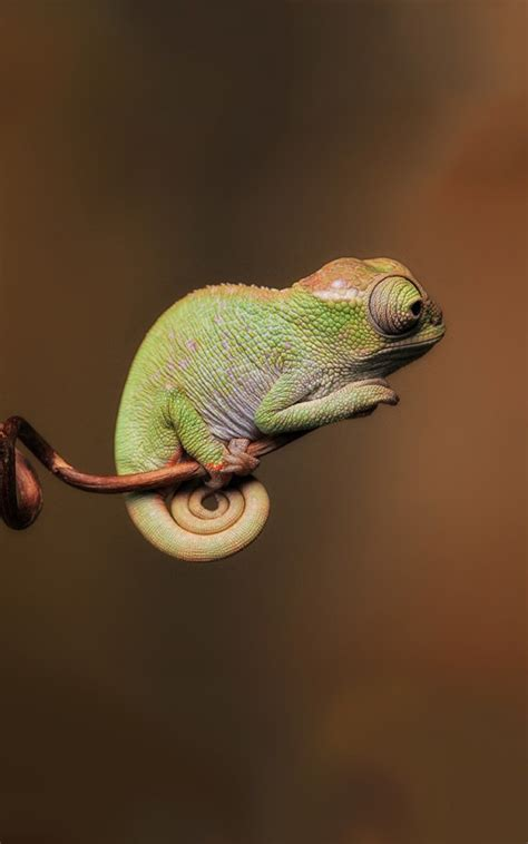 calm chameleon lockscreen android wallpaper