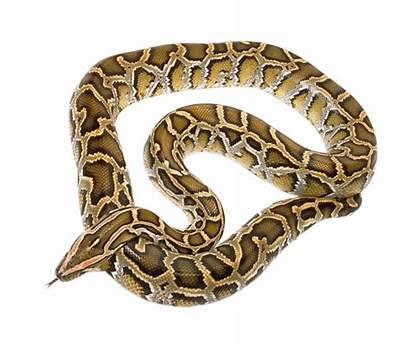 Snake Transparent Python Reticulated Anaconda Burmese Poisonous