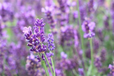 lavendel und lavendel 246 l gegen wespen hilft es wirklich