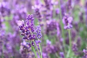Pflanzen Gegen Wespen : lavendel und lavendel l gegen wespen hilft es wirklich ~ Frokenaadalensverden.com Haus und Dekorationen