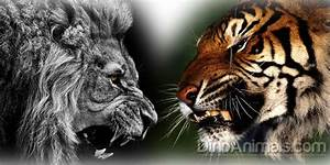 Lion versus tiger – fight | DinoAnimals.com