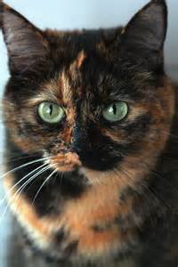 Tortoise Shell Cat with Green Eyes