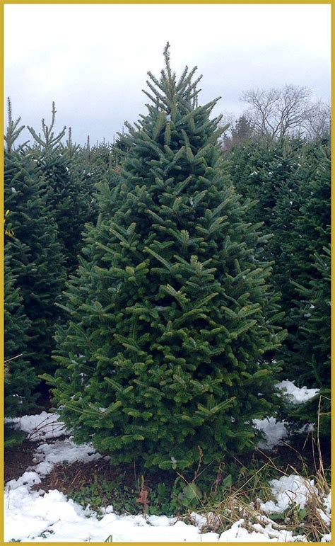 places  buy  christmas trees