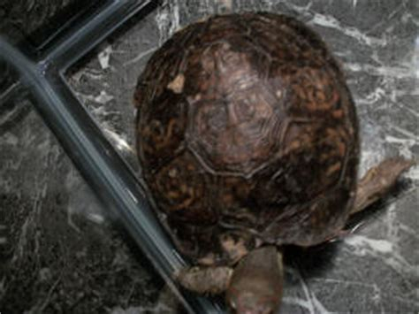 box turtle shell shedding tortoise fs