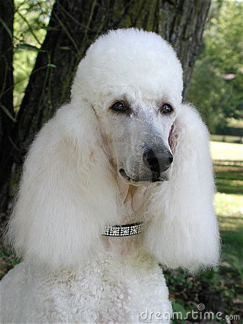 standard poodle portrait royalty  stock photography